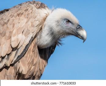 Griffon vulture in Israel