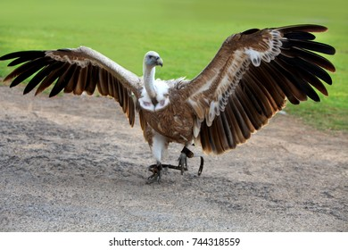griffon vulture with openrd wings