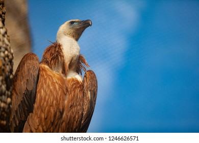 Griffon vulture portrait. Griffon close-up is sitting on the rock. Griffon vulture head. Griffon vulture profile