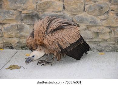griffon vulture in spain