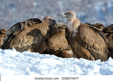 Griffon Vultures (Gyps Fulvus) in Winter Landscape, into the Mountains