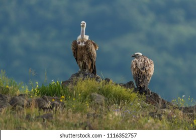 Griffon vultures, wild vultures, beautiful wild vulture scouts in the mountains