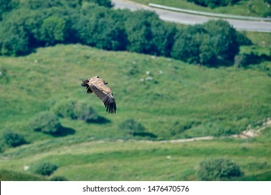 Griffon-vulture. Griffin-vulture. Vulture, fingerboard, griffin griffon Griffon vulture flies on a background of green earth.