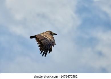 Griffon-vulture. Griffin-vulture. Vulture, fingerboard, griffin griffon Griffon Vulture Flight. Side view