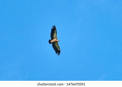 Griffon-vulture. Griffin-vulture. Vulture, fingerboard, griffin griffon Griffon Vulture Flight Bottom view