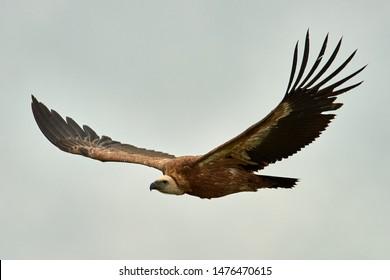 Griffon-vulture. Griffin-vulture. Vulture, fingerboard, griffin griffon Griffon Vulture Flight Wingspan