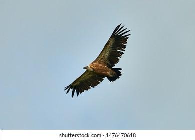 Griffon-vulture. Griffin-vulture. Vulture, fingerboard, griffin griffon Griffon Vulture Flight. Bottom view