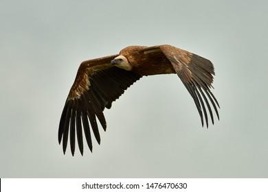 Griffon-vulture. Griffin-vulture. Vulture, fingerboard, griffin griffon Griffon Vulture Flight. Front view Wingspan