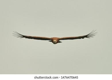 Griffon-vulture. Griffin-vulture. Vulture, fingerboard, griffin griffon Griffon Vulture Flight. Front view
