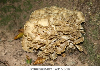 Grifola frondosa, hen of the woods