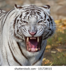 Grin of a white bengal tiger. The biggest and most dangerous cat of the world. Severe beast shows his fearful fangs. A mighty raptor on autumn background.