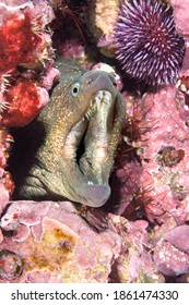 A grinning moray eel breathes with its mouth wide open, exposing its sharp teeth and fleshy throat.