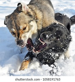 Grinning mouths of two dogs. Animals play in snow, but expressions of their muzzles such terrible that it is possible to think that they fight. A metaphor for aggression.