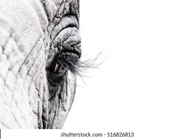 Gritty high contrast and high key black and white image of the eye of an African elephant. Intentional shallow depth of field. Space for text.