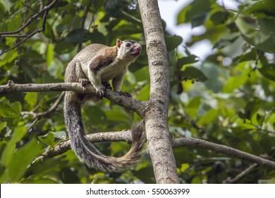 Grizzled giant squirrel in Minneriya national park, Sri Lanka ; specie Ratufa macroura family of Sciuridae