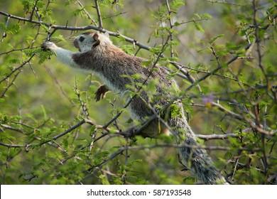Grizzled indian squirrel, Ratufa macroura, highland subspecies of giant squirrel, with denser fur. Ceylon squirrel feeding on leaves. Sri lankan wildlife. Asia, Sri Lanka.