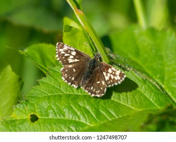 Grizzled Skipper ab,taras aberration (Pyrgus malvae) resting on a leaf
