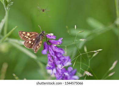 A grizzled skipper butterfly (pyrgus malvae) on violet flowers (nature of Western Siberia).