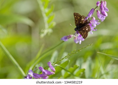 A grizzled skipper butterfly (pyrgus malvae) perched on violet flowers (nature of Western Siberia).