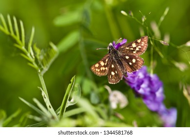 A grizzled skipper butterfly (pyrgus malvae) perched on violet inflorescences (nature of Western Siberia).