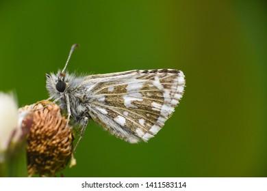 Grizzled Skipper Butterfly (Pyrgus malvae). Little black butterfly in grass