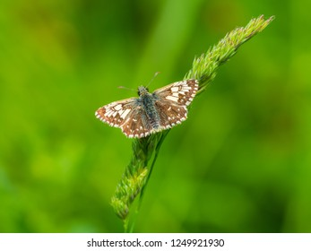 Grizzled Skipper (Pyrgus malvae) resting on a leaf