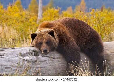 A Grizzly Bear in Alaska taking a rest on a fallen tree.