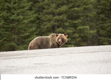Grizzly bear along the side of the road