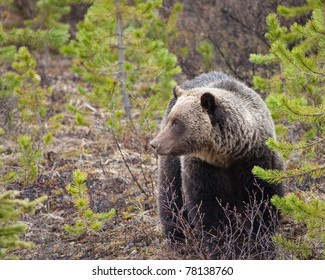 Grizzly bear in Banff national park