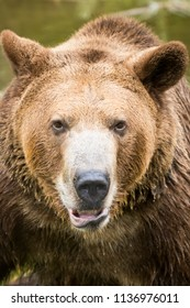Grizzly bear brown bear adult male bruin in water growling