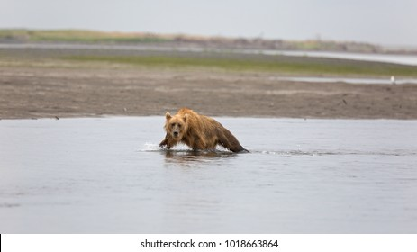 A grizzly bear is catching a salmon in the Douglas River