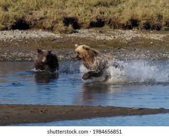 Grizzly Bear Chasing Salmon, Alaska