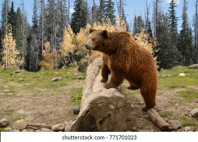 Grizzly Bear Climbing Over Old Log In Autumn Woods of Montana