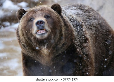 Grizzly Bear Close up with snow