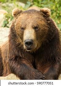 Grizzly bear closeup