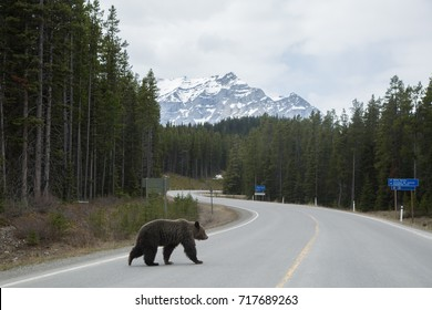 Grizzly bear crossing the road in the mountains