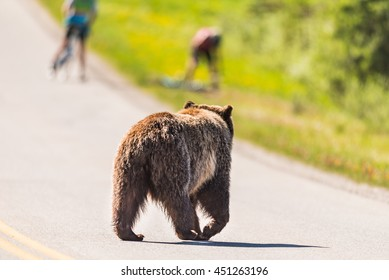 Grizzly Bear crossing a road scaring bikers off their bikes in the summertime Banff National Park Alberta Canada