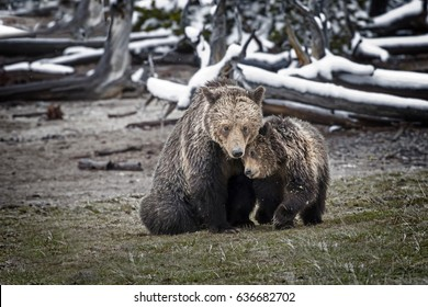 Grizzly Bear Cub Cuddling with Mother