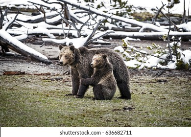 Grizzly Bear Cub Hugging Mother