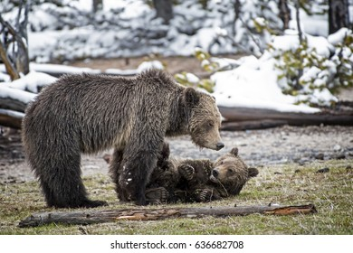 Grizzly Bear Cub with Mother
