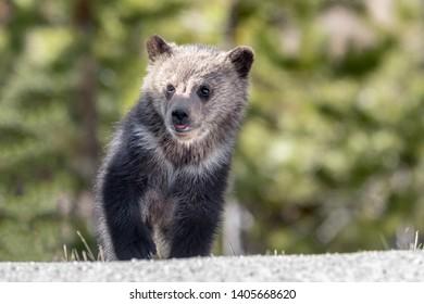 Grizzly bear cub near road