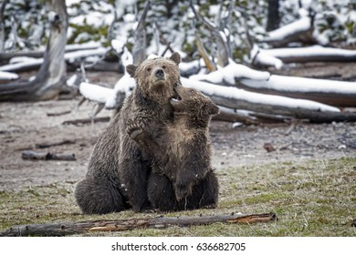 Grizzly Bear Cub Playing with Mother