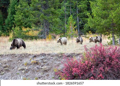 Grizzly bear cubs from the famous grizzly bear 399 wander through a field in the fall colors in Grand Teton National Park (Wyoming).