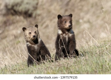 Grizzly Bear Cubs looking for mama