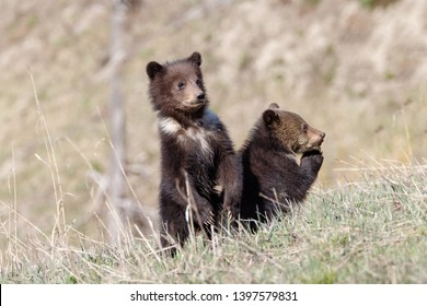 Grizzly bear cubs standing and praying