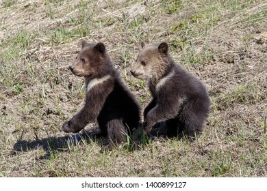 Grizzly Bear cubs in Wyoming