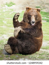 Grizzly Bear Doing a Funny Yoga Pose While Waving to His Audience