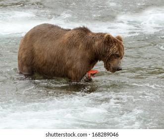 Grizzly Bear eating a fresh sockeye salmon, Brooks Falls, Katmai, Alaska, USA