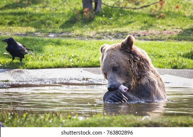 Grizzly bear eating a trout near Yellowstone National park