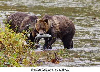 Grizzly bear is fishing for salmon at the inlets of vancouver island